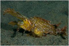 Ambon Drachenkopf - Pteroidichthys amboinensis
