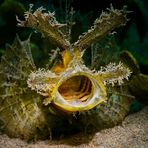 Ambon Skorpionfisch