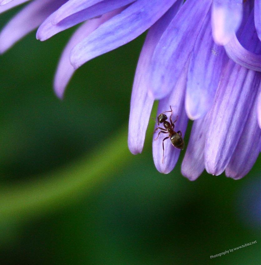 Ameise auf Alpenaster