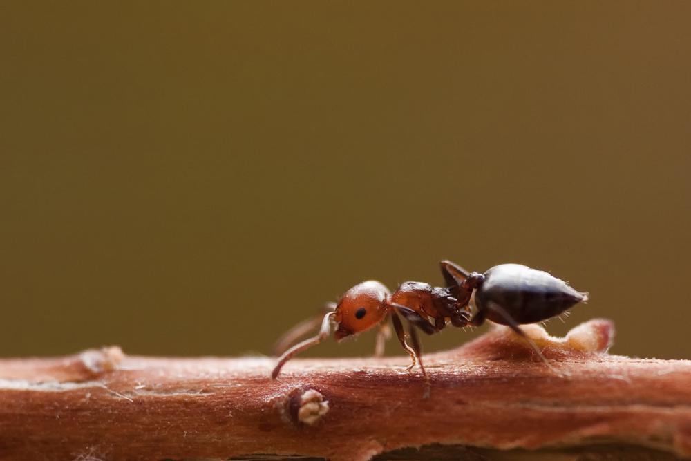Ameise auf dem Laufsteg