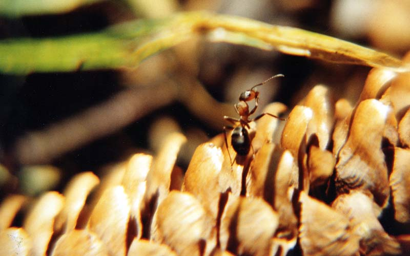 Ameise bei Futtersuche