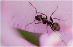 Ameise - heimischer Garten