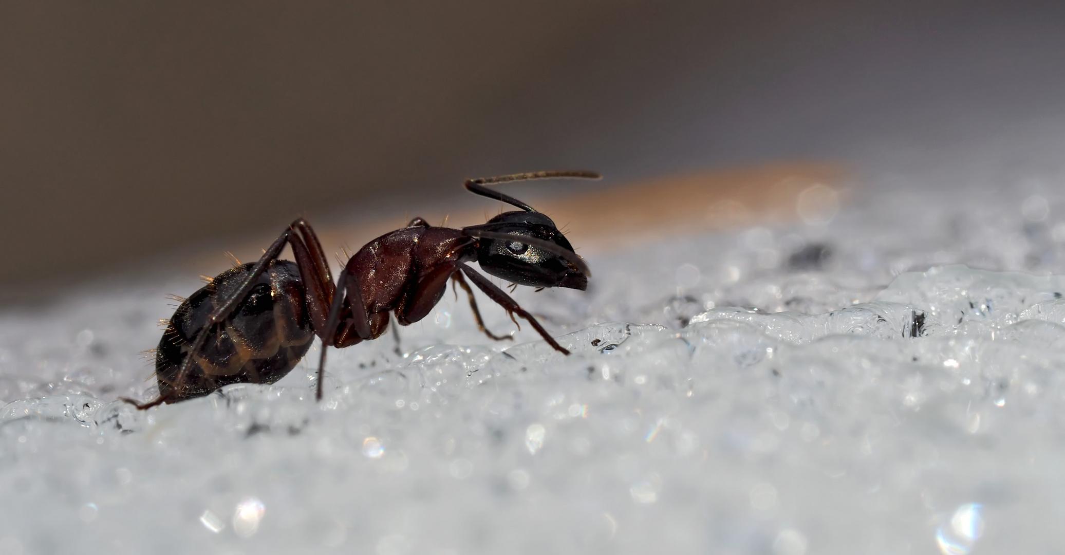 ameise im schnee unterschiede zw ameisen und termiten. Black Bedroom Furniture Sets. Home Design Ideas