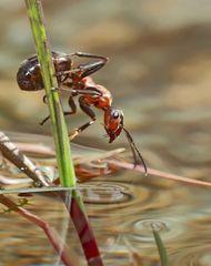 Ameise im und am Wasser... - Les fourmis près de l'eau et dans l'eau.