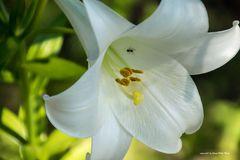 Ameise in der Blüte (1)