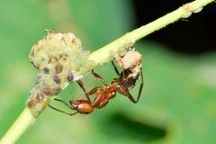 Ameise und Blattlauskolonie