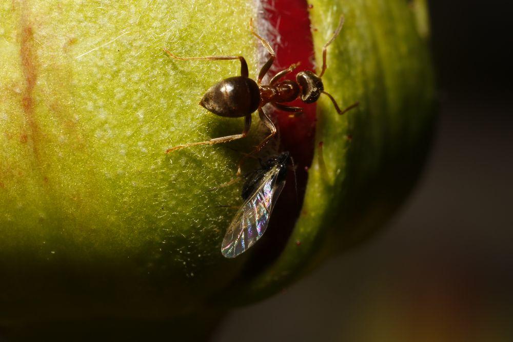 Ameise und Röhrenblattlaus an Edelrose