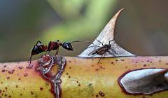 Ameise und Schwarze Blattlaus mit Flügeln. - Une fourmi avec un puceron.