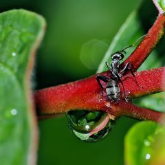 Ameise und Wassertropfen - die liebt es romantisch!