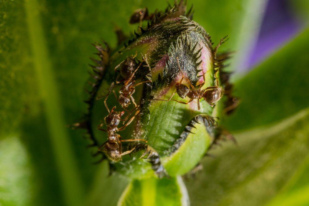 Ameisen an Blütenknospe