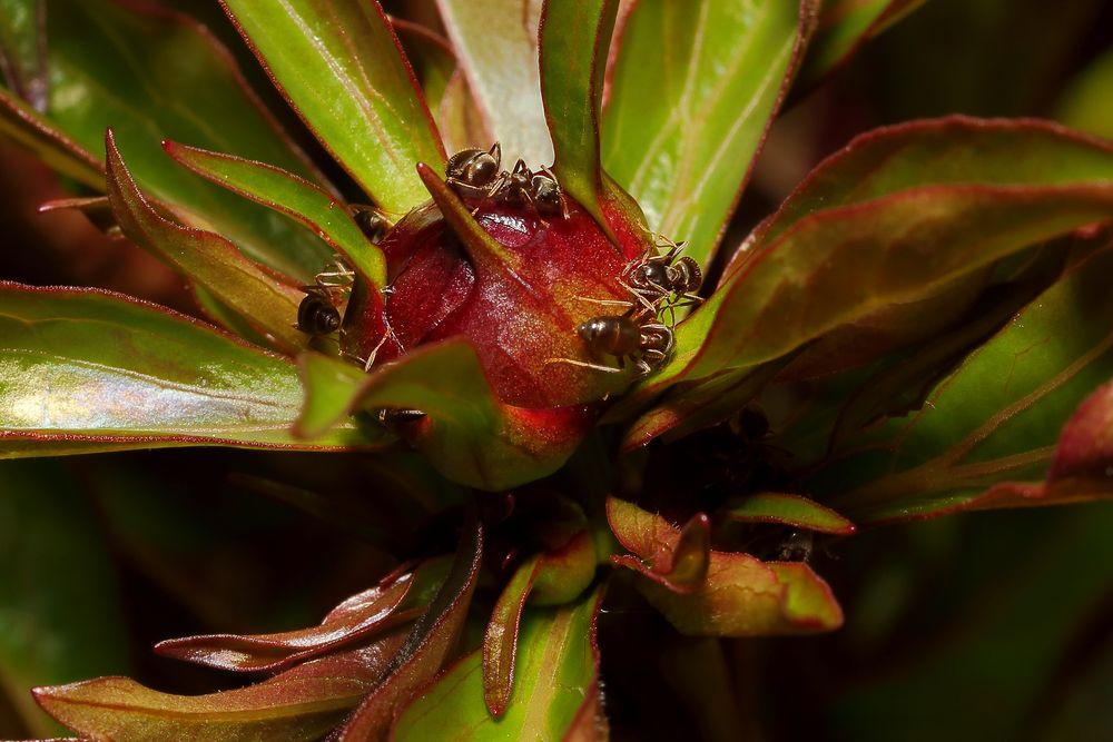 Ameisen an der Pfingstrose (I)