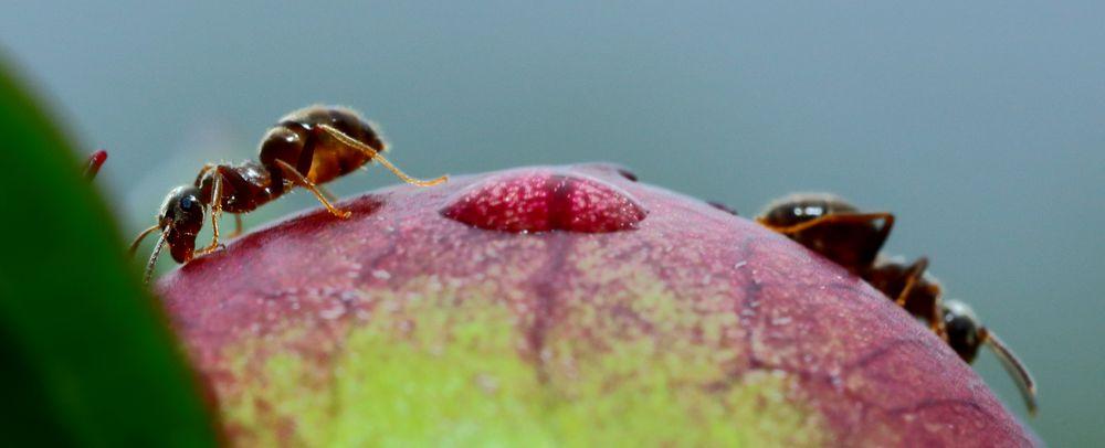 Ameisen an Pfingstrosen (IX)