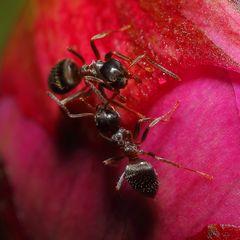 Ameisen an Pfingstrosen (XI)