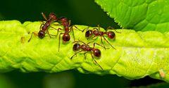 Ameisen auf der Suche nach Süssigkeiten... - A la recherche de sucre...