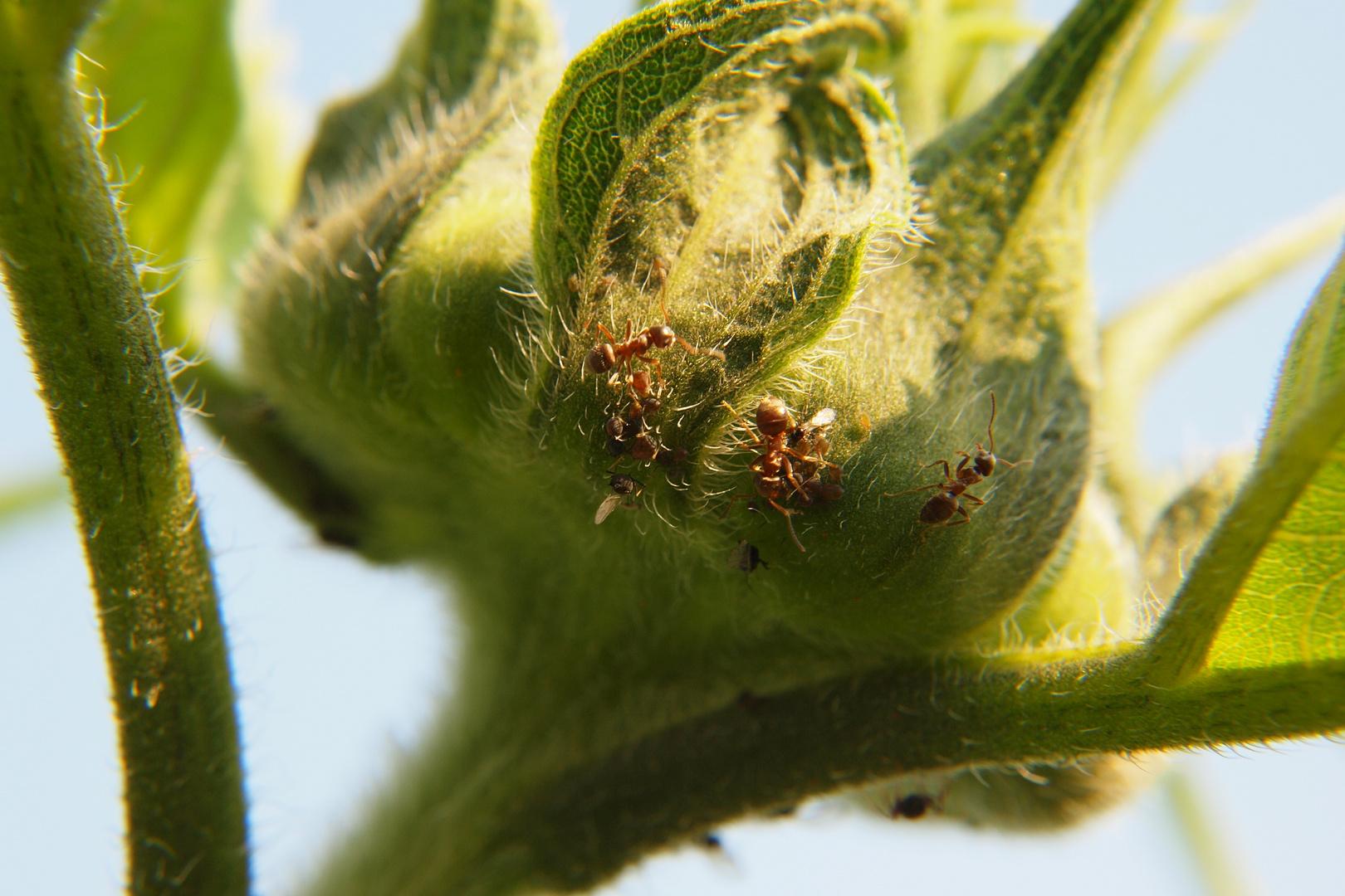 Ameisen auf Sonnenblumenknospe bei der Arbeit