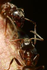 Ameisen begegnen sich