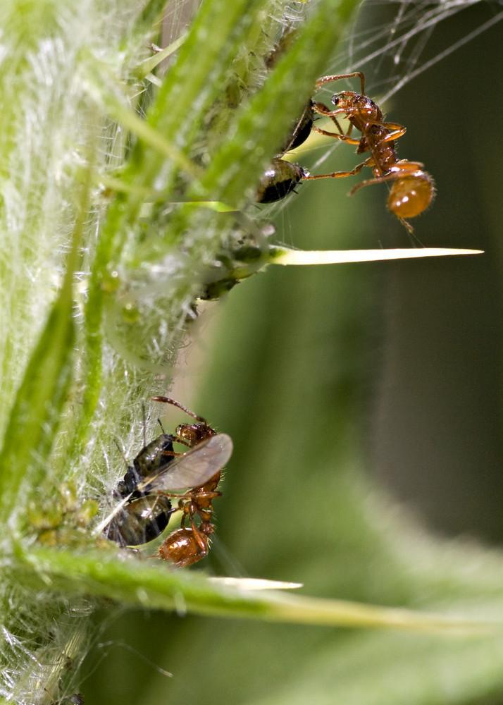 Ameisen beim melken.
