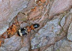Ameisen-Buntkäfer