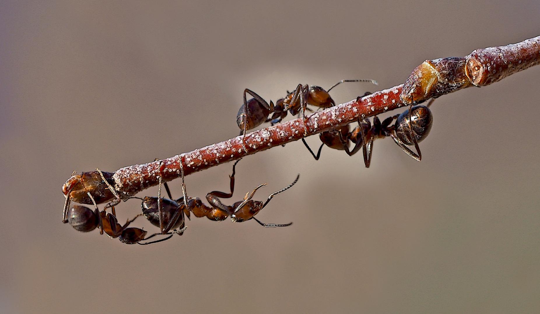 Ameisen finden etwas Leckeres! - Les fourmis trouvent un breuvage délicieux!