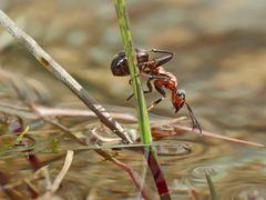 Ameisen im und am Wasser... - Les fourmis près de l'eau et dans l'eau.