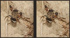 Ameisen in der Steilwand [3D]