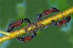 Ameisen melken ihre geliebten Blattläuse! - Les fourmis traient les pucerons!
