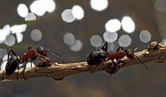 Ameisen überqueren den Bach... - Les fourmis traversent le ruisseau.