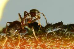 Ameisen und Blattläuse - Freunde fürs Leben