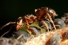 Ameisen und Blattläuse - Freunde fürs Leben (II)