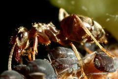 Ameisen und Blattläuse - Freunde fürs Leben (III)