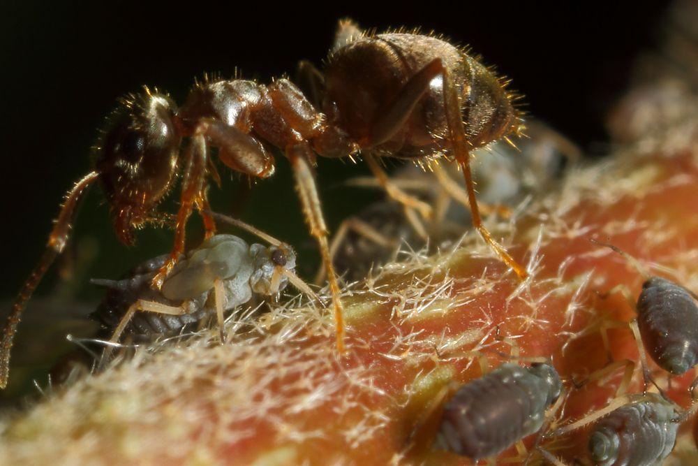 Ameisen und Blattläuse - Freunde fürs Leben (IX)