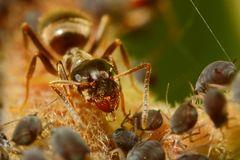 Ameisen und Blattläuse - Freunde fürs Leben (V)