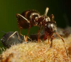 Ameisen und Blattläuse - Freunde fürs Leben (VI)