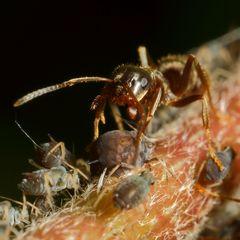 Ameisen und Blattläuse - Freunde fürs Leben (VII)