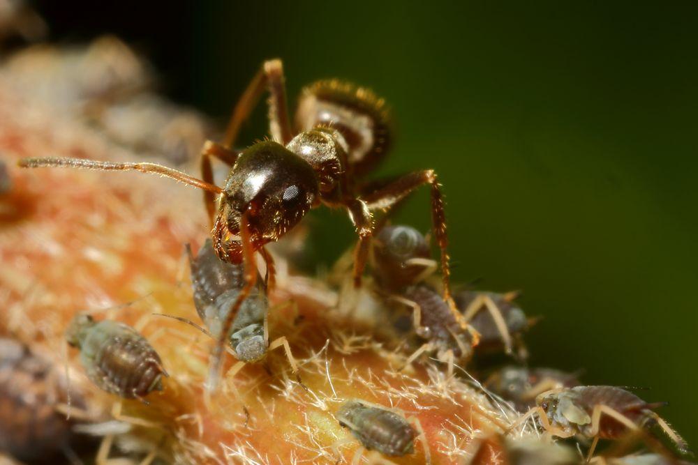Ameisen und Blattläuse - Freunde fürs Leben (VIII)