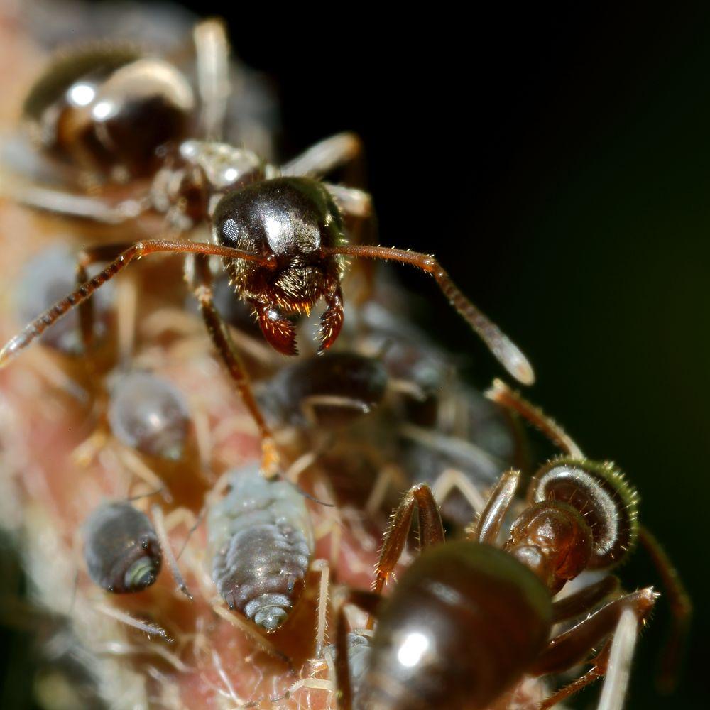Ameisen und Blattläuse - Freunde fürs Leben (X)