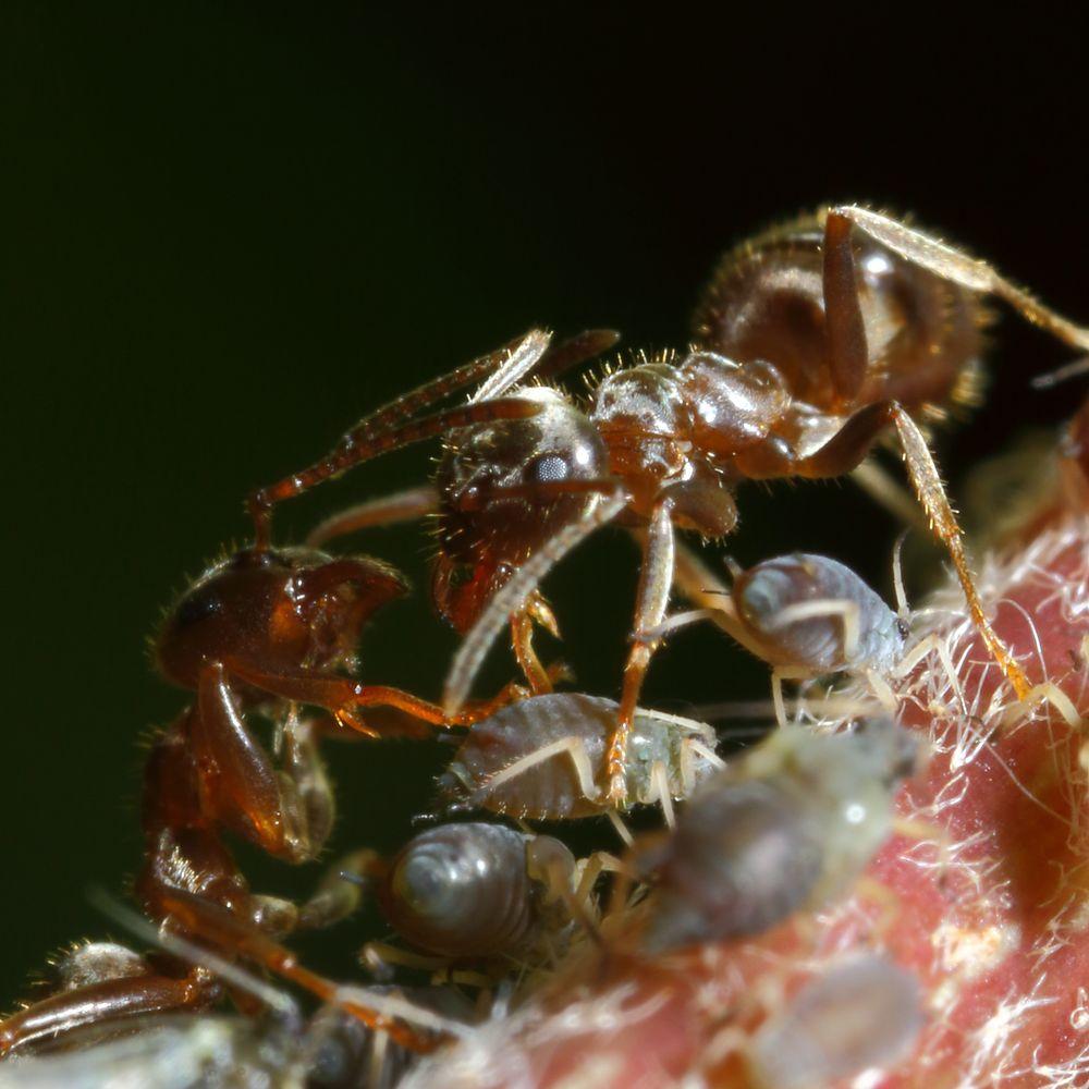 Ameisen und Blattläuse - Freunde fürs Leben (XI)