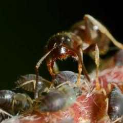 Ameisen und Blattläuse - Freunde fürs Leben (XII)