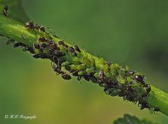 """Ameisen und ihre """" Haustiere """""""