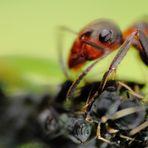 Ameisenauge