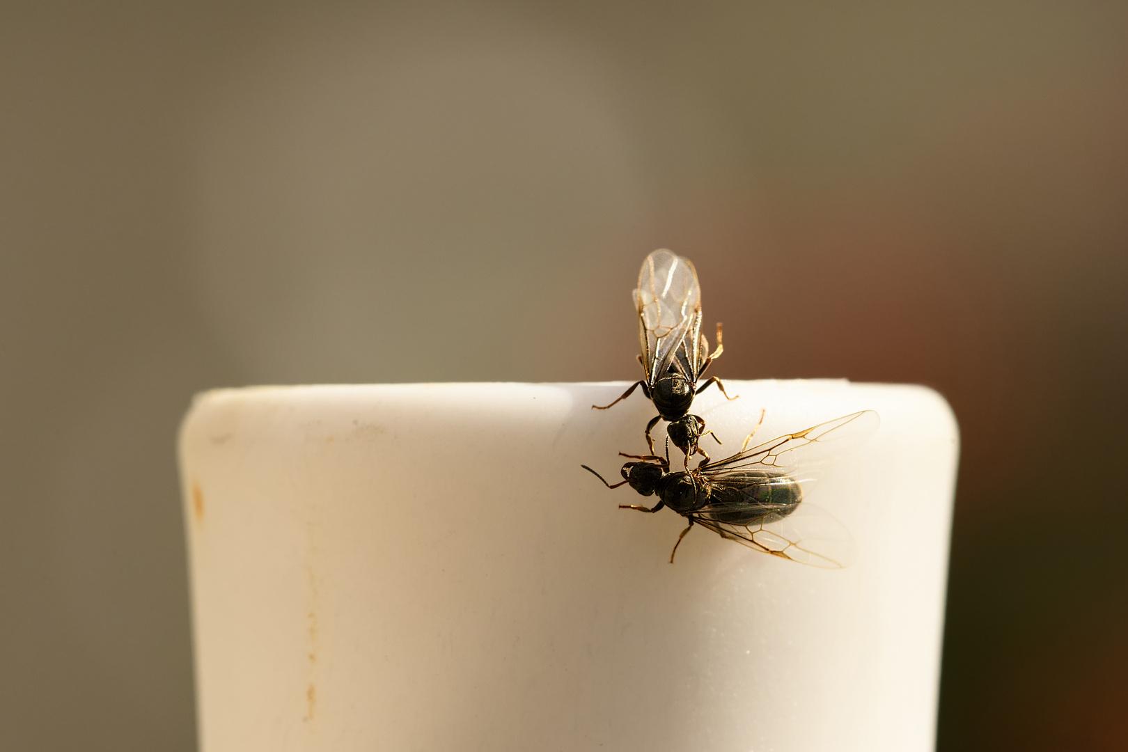 Ameisenköniginnen unter sich
