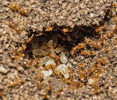 Ameisenlarven (III) gelber Ameisen
