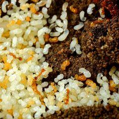 Ameisenlarven (IV) gelber Ameisen