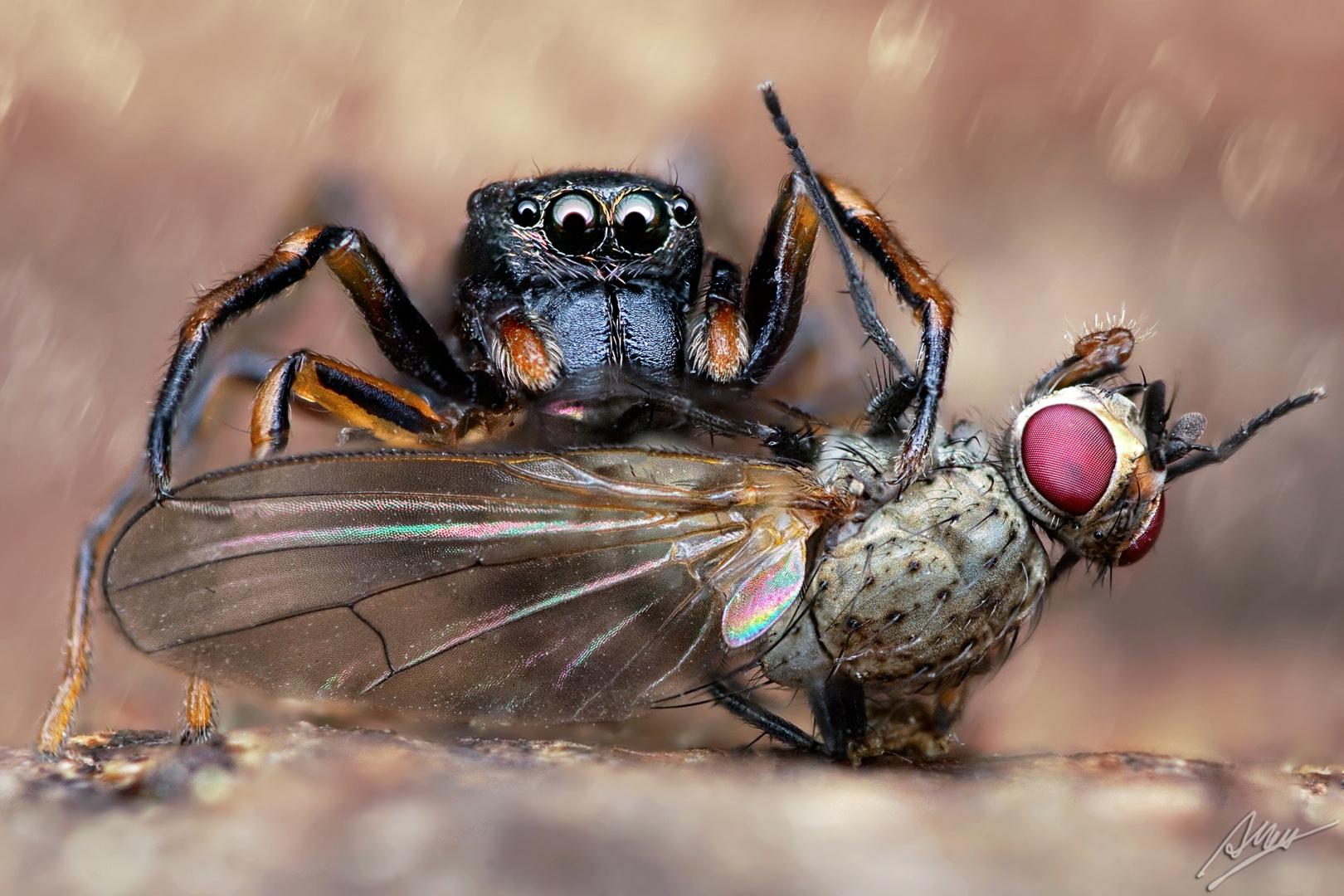Ameisenspringspinne mit Beute