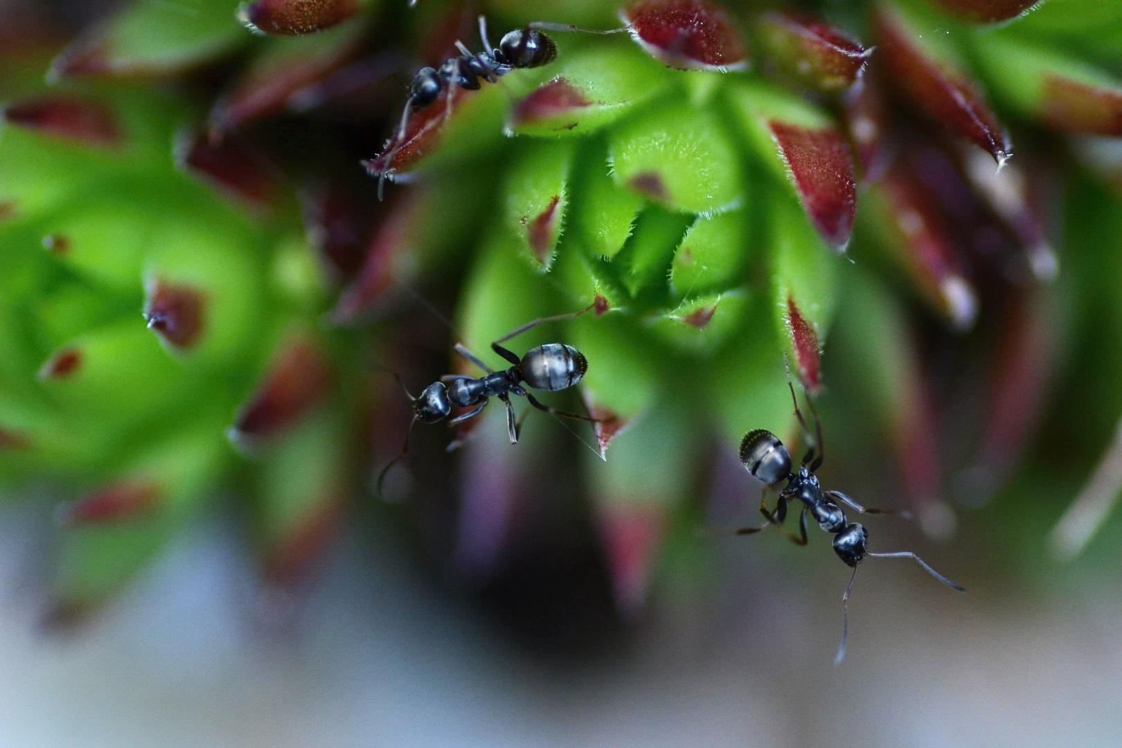 Ameisentreff