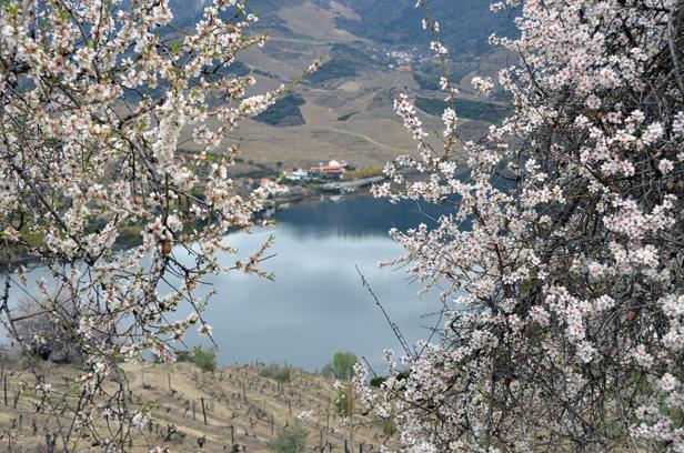 Amendoeiras em flor - Douro