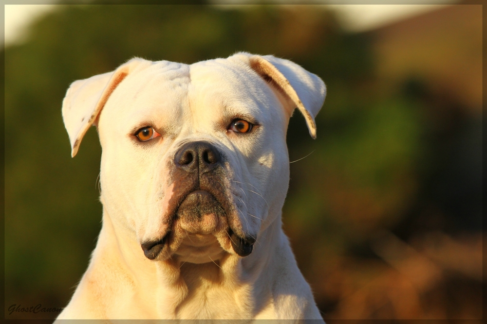 American Bulldog Ella