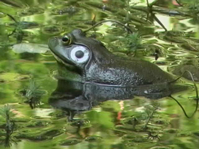 American Bullfrog (male)