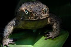 American frog