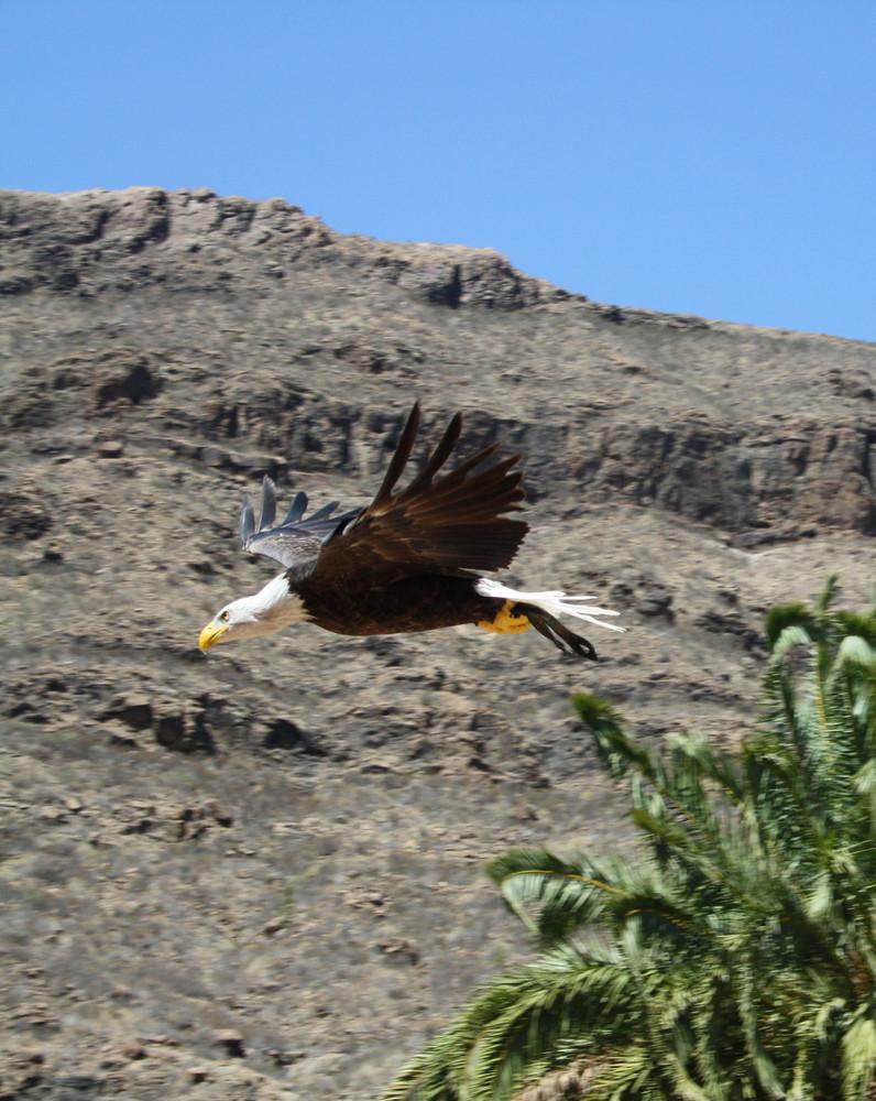 American Sea-eagle